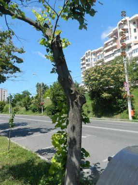 Primarul Stan a postat pe Facebook și poze cu copacii așa-ziși bolnavi, care au fost tăiați de la rădăcină