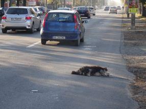 Grupul Șoferilor din Galați rezolvă prompt problema maidanezilor