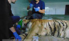 Au și animalele SMURD-ul lor: un tigru de la Zoo Galați a fost investigat de o echipă de medici din București