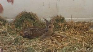 Căprioara Bambi, vedeta Zoo Galați