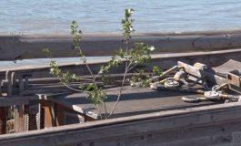 Mai eco de atît nu se poate: din Pînzarul Moldovenesc a răsărit un copac