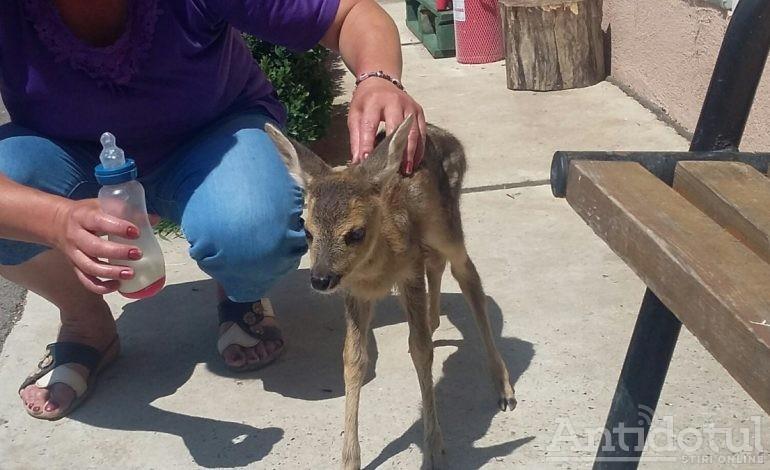 Bambi și-a luat buletin de Galați: un pui de căprioară a fost salvat de un gălățean și dus la Grădina Zoo