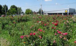 PSD își bate joc pînă și de propriul brand! Trandafirii sînt năpădiți de buruieni, la ieșirea din Galați (foto)