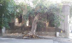 O casă și un copac din Galați se sprijină reciproc la bătrînețe