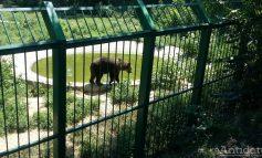 La Zoo Gîrboavele, ca la all inclusive: animalele mănîncă înghețată și fructe și stau toată ziua la piscină