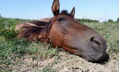 Subiect de film: un cal cu tendoanele rupte a rezistat șase ani pe o plajă de pe malul Dunării/Galerie foto