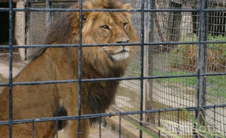 """Anchetă a Poliției la Zoo Galați după ce niște """"maimuțe"""" au agitat un leu"""