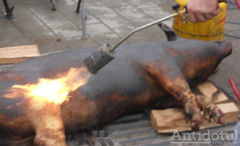 VIDEO/La Galați, porcul se pîrlește pe trotuar, în centrul orașului!