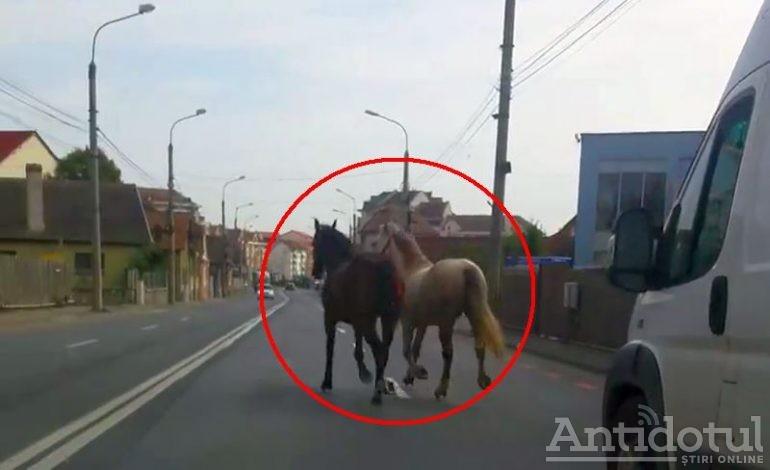 VIDEO/ Infrastructură de rahat! Doi cai s-au plimbat prin orașul Galați și și-au făcut nevoile în mijlocul străzii Traian
