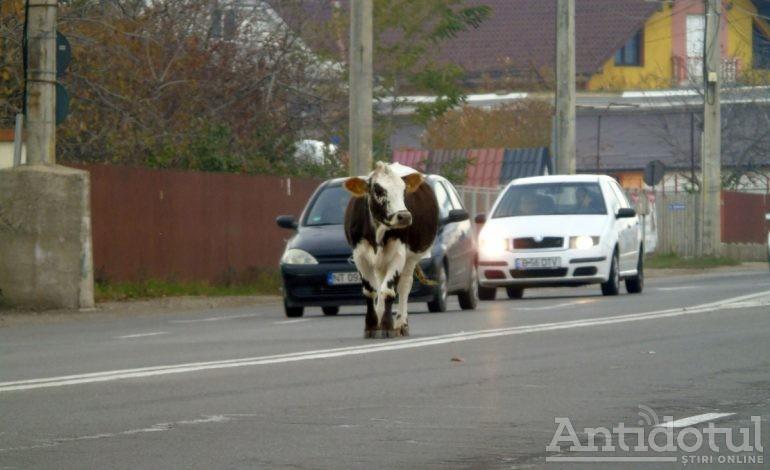 VIDEO/ O vacă s-a plimbat pe o stradă din orașul Brăila chiar în timp ce premierul Viorica Dăncilă se afla în vizită în Muntenegru