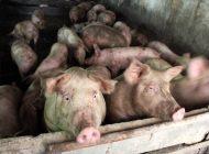 Pesta porcină se extinde.Trei localități sunt afectate și zeci de porci urmează să fie eutanasiați