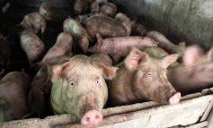 Pesta porcină se întoarce. Opt porci dintr-o gospodărie gălăţeană, deja sacrificaţi!
