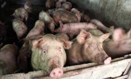 Asta-i culmea pestei porcine: virusul a poposit în curtea unui medic veterinar din județul Galați