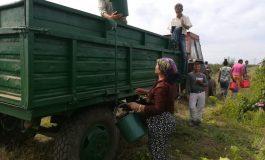 Nici toamna nu-i ca vara: agricultorii gălățeni au început să culeagă viile în luna august