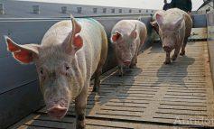 Autoritățile au decis: porcii nu mai au voie să se plimbe pe străzile din cea mai mare parte a orașului Galați