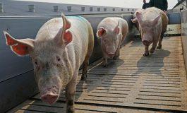 Trei brăileni au vrut să facă friptură cu carne de porc furată din complexul de la Tichilești, închis din cauza pestei porcine