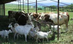 Pesta porcină a lovit într-o comună cu multe găini, vaci și capre