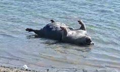 VIDEO/Zombi groh. Mai mulți porci morți au înotat pe Dunăre, în dreptul orașului Brăila