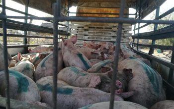 Toamna se numără bobocii. 50 de porci santinelă au fost distribuiţi în localităţile brăilene afectate de pesta porcină