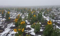 Galerie foto/ Un câmp plin de floarea soarelui a apărut la 80 de km distanță de Galați