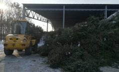 VIDEO/Brazii de Crăciun sunt folosiți ca îngrășământ pentru spațiile verzi din Galați