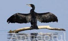 Boala lui Daea i-a molipsit şi pe politicienii gălăţeni. Pâslaru şi Popa se alătură curentului anti-cormoran!