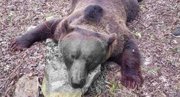 Graţiela Gavrilescu anunţă anchetă la Buzău, după ce cadavrul unui urs împuşcat în baza unui aviz a fost batjocorit