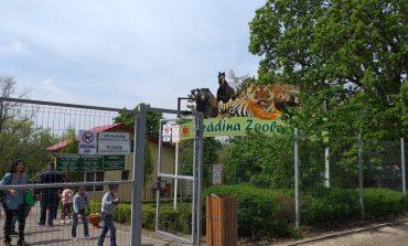 De ce le-a fost frică nu au scăpat: pesta porcină a omorât toți porcii de la Grădina Zoologică Gârboavele