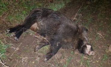 De frica pestei porcine, autoritățile se gândesc să împuște câinii fără stăpân din pădurea Gârboavele. La Zoo este alertă