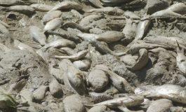 Iadul peștilor: mii de pești au murit la o baltă din județul Galați din cauza secetei și a birocrației