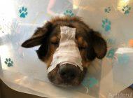 VIDEO/Cruzime împotriva animalelor: un câine de rasă din Galați a fost mutilat cu un fier încins