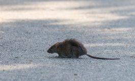 VIDEO Orașul lui Mickey Mouse: șobolanii s-au aciuat prin mai multe zone al Galațiului