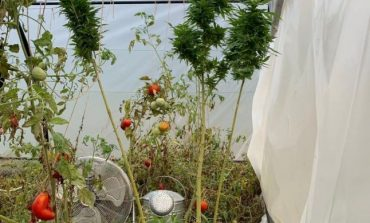 FOTO Cannabis, cultivat în solar, printre roşii, de un argeşean. Bărbatul avea acasă inclusiv instrumente de preparat şi porţionat drogurile