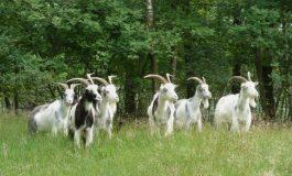 Se alege praful de Miorița și de transhumanță: proprietarii de animale de la Tg.Bujor sunt amendați dacă trec prin pădure