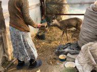 VIDEO/ Sună ciudat, dar este adevărat: un politician din Galați a ajutat o căprioară