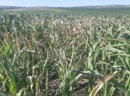 Arși de secetă, țăranii se simt pârliți și de guvernanți