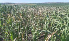 Despăgubirile pentru fermierii afectați de secetă vor fi acordate în luna septembrie