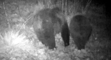 Imagini inedite surprinse noaptea, în Parcul Naţional Retezat. Vedetele au fost doi urşi VIDEO