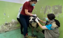 O alpaca din Galați s-a dus la Cluj-Napoca pentru a se trata la dinți și pentru a-și face manichiura/pedichiura