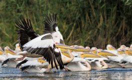 VIDEO S-au înmulțit pelicanii din Brăila. O mică deltă a apărut în apropierea orașului