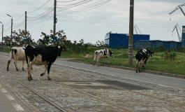 La intrarea în UE sunt boi și vaci