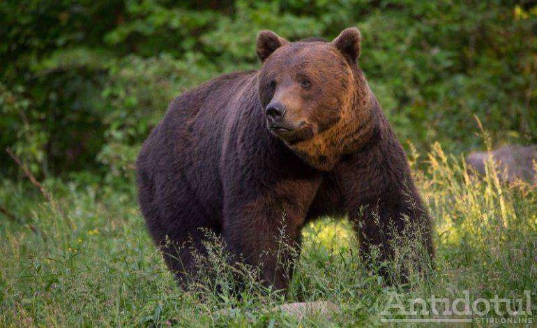 Bigfoot, varianta zoo. O urmă din pădurea Buciumeni ar demonstra apariția, în premieră, a unui urs în județul Galați