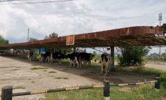 Avantajele traiului în UE: vacile stau la umbră în stația de autobuz