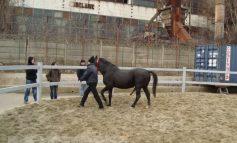 Cadou special pentru fanii expoziţiei de găinaţ: calul cu cinci picioare