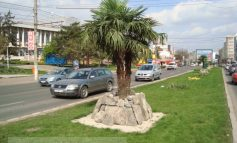 Palmierii fac din nou figuraţie pe str. Brăilei