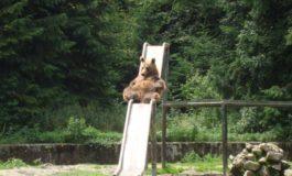 Fază surprinsă astăzi, în Parcul Zoologic din Braşov