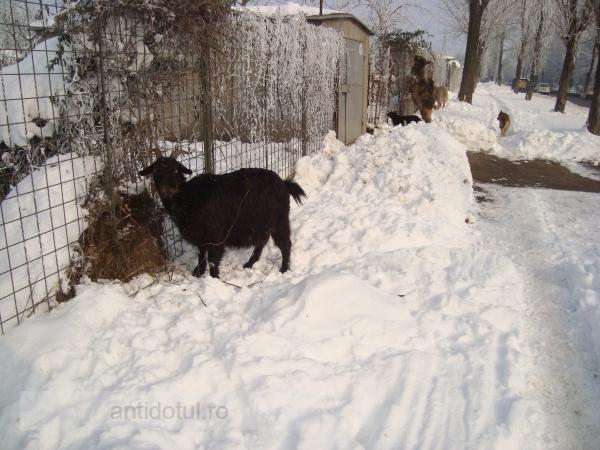 Stătea capră pe Centură, la -7 grade