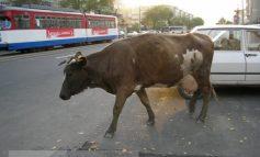 A evitat o vacă, dar și-a boțit mașina și fața!