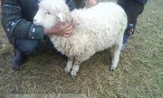 Ciobanii nu se mai grăbesc să taie mielu'