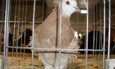 Ajutați-l pe Marian Băilă să organizeze și în acest an expoziția de porumbei!